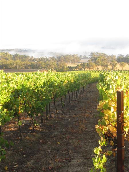 Mount Trio Vineyard - Shiraz Vines