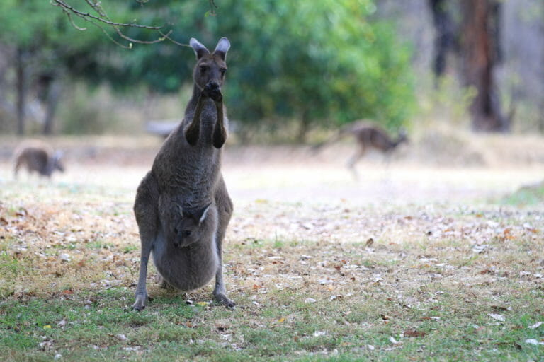 Resident Kangaroo with her Joey feeding from fruit trees in the garden